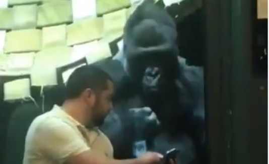 Gorila y fotos