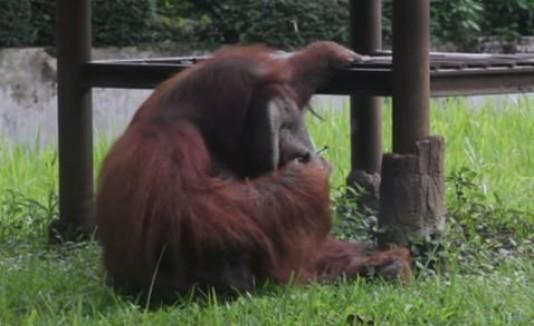 Orangután fumador