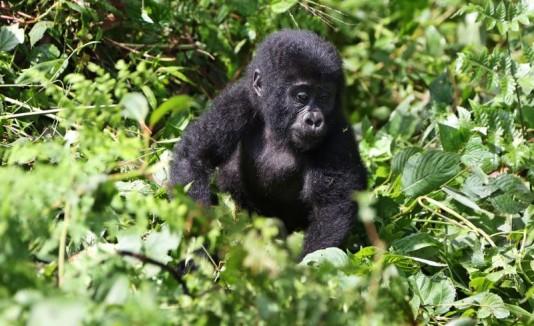 Gorila Congo