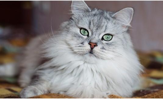 Gato Clon