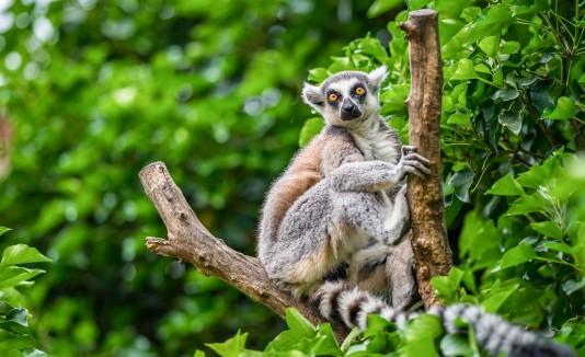 Los lémures suelen animales ser muy sociales. (Shutterstock)