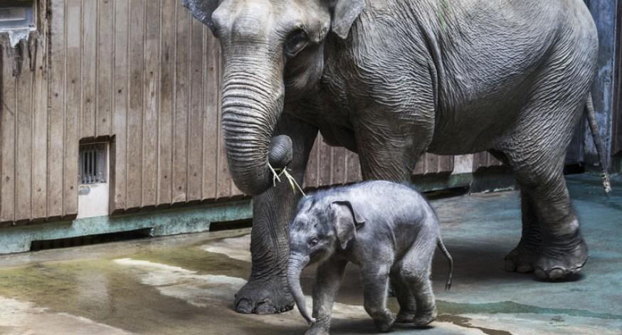 El elefantito Filimon y su madre Pipita caminan por su pabellón en el zoológico de Moscú, Rusia. Filimon nació recientemente y ya fue presentado al público.