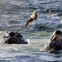 Decenas de ballenas quedan varadas anualmente en esa zona de Nueva Zelanda.