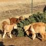 Las cabras disfrutando del árbol navideño