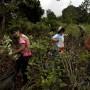 Cientos de familias peruanas viven solo del recogido de hojas de coca.