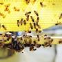 El apicultor Hermes Conde, de la Escuela de Apicultura del Este en Fajardo, pronostica un debacle ambiental de llevarse a cabo la fumigación contra el aedes aegypti en la Isla.