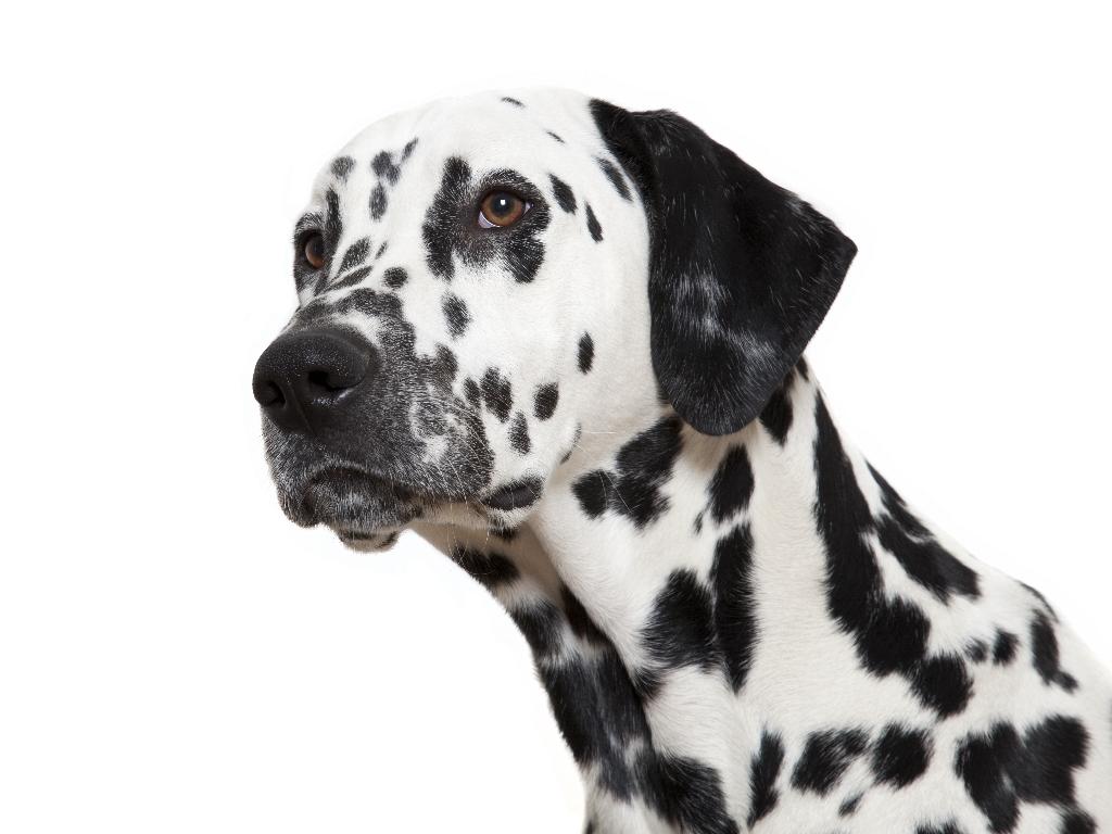 FOTOS: Las 10 mejores razas de perro para corredores