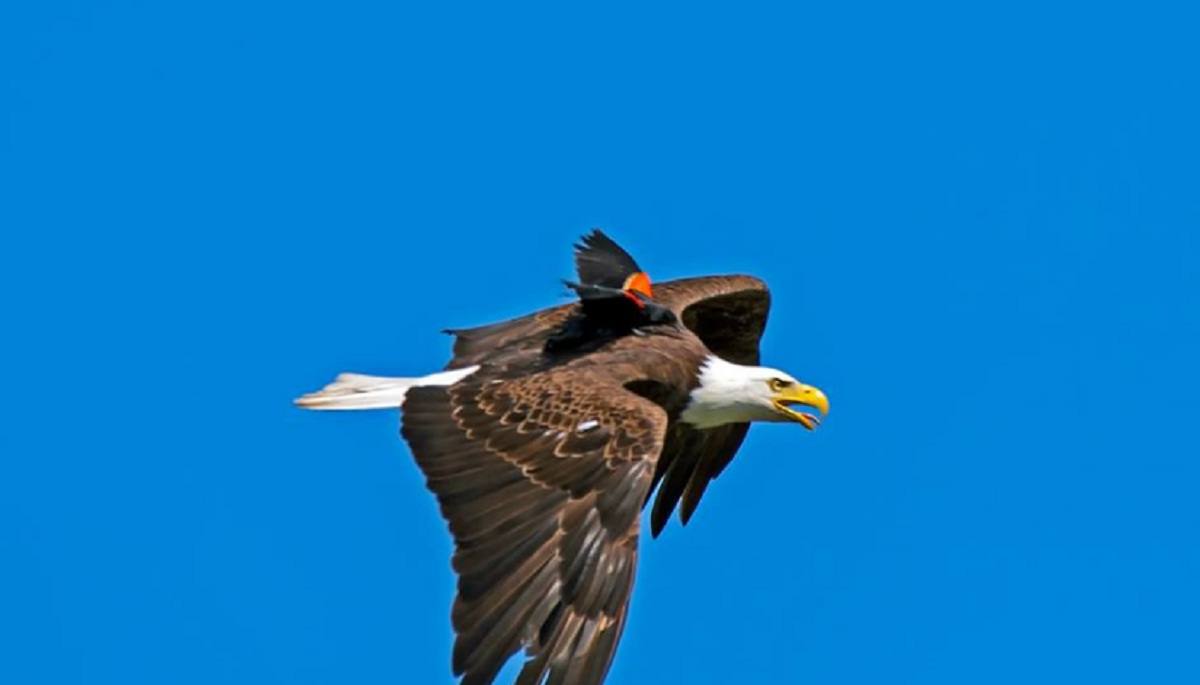 Aguila En La Espalda un fotógrafo captura a un águila volando con un pájaro en su